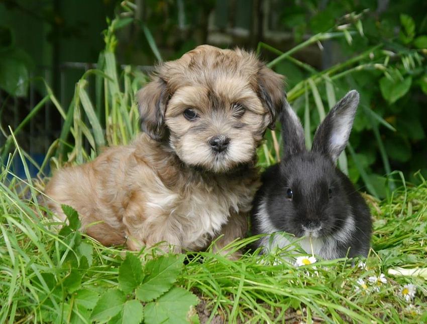 Havaneserwelpe mit Kaninchen