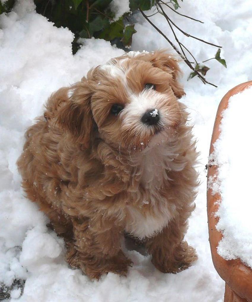 Havaneser Welpe im Schnee