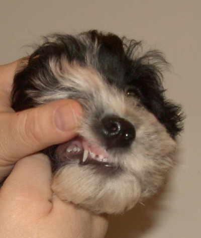 Gebisspflege beim Hund
