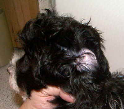 Ohrenpflege beim Hund