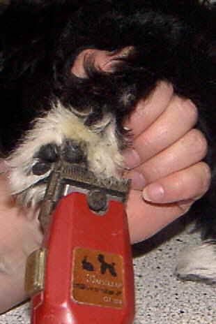 mit Scheermaschine Haare zwischen Ballen scheeren