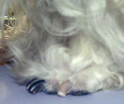 geschnittene Krallen bei einer Hundepfote