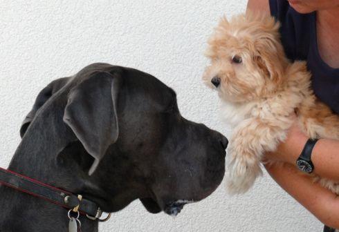 Havaneser Welpe mit großem Hund