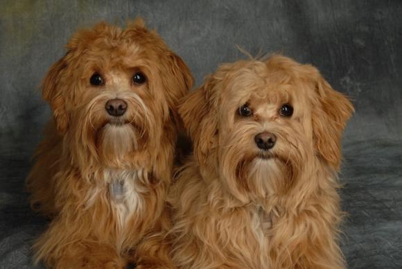 Havaneser Hunde als Therapiehunde