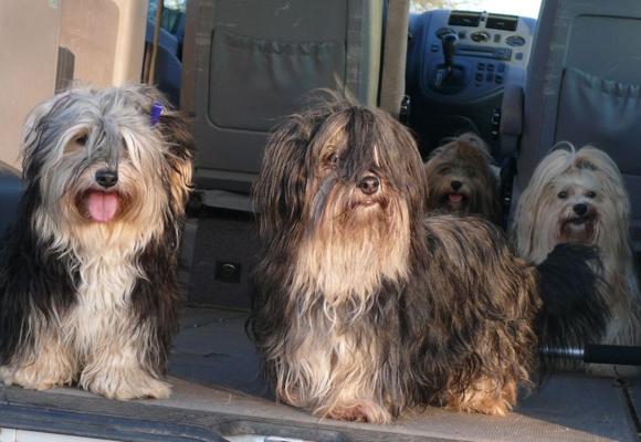 Havaneser alsTherapiehunde