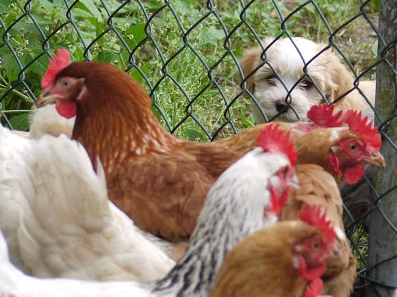 Havaneser Welpe mit Hühnern