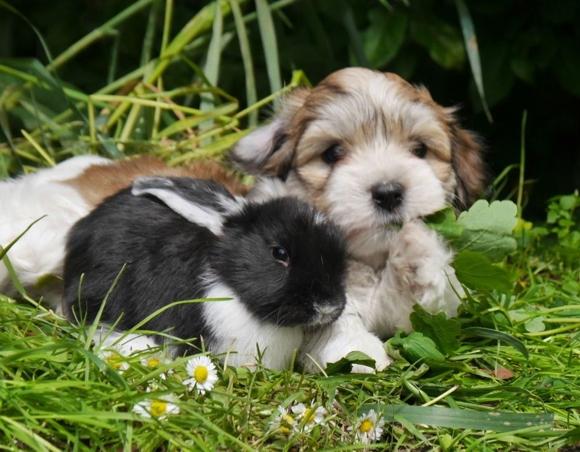 Havaneser Welpe mit Kaninchen