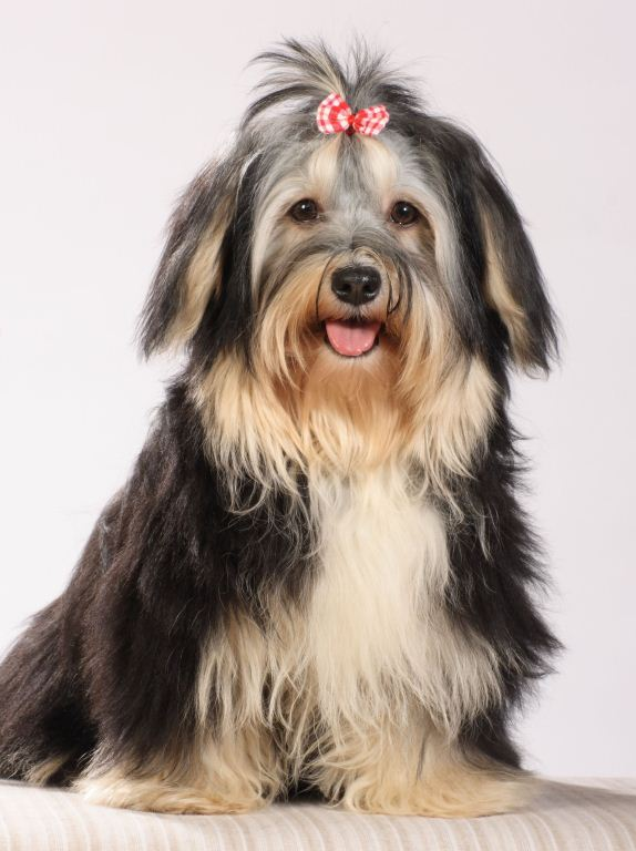Havaneser Junghund