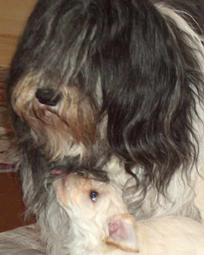 Havaneser Welpe mit grossen Hund