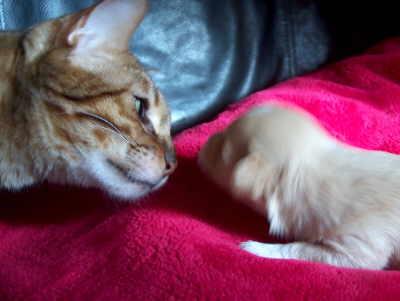 Havaneser Welpe und Katze