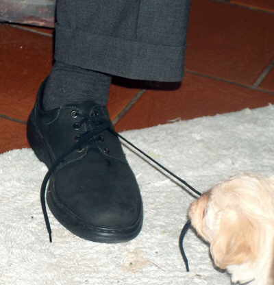 Havaneser Welpe Schuhband