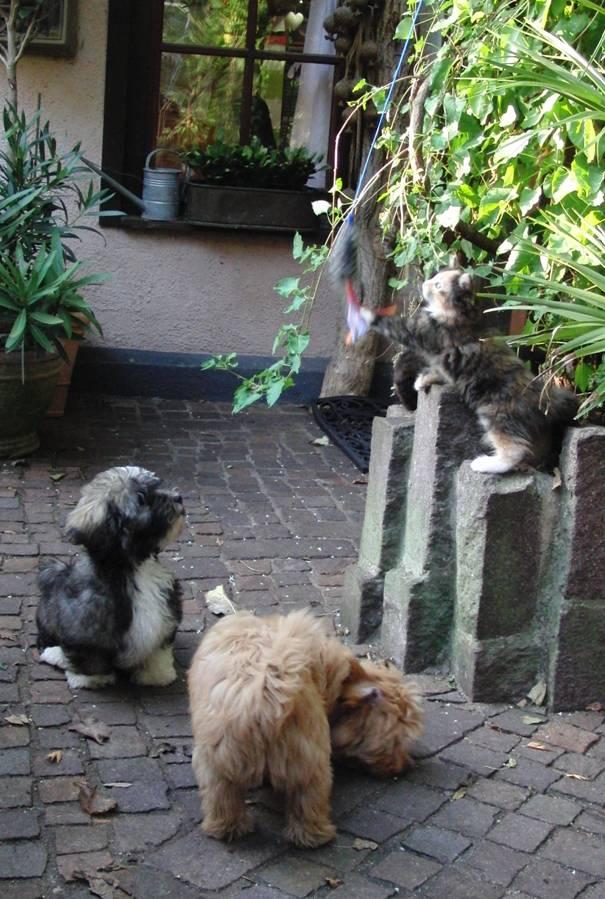 Katze mit Havaneser Welpen