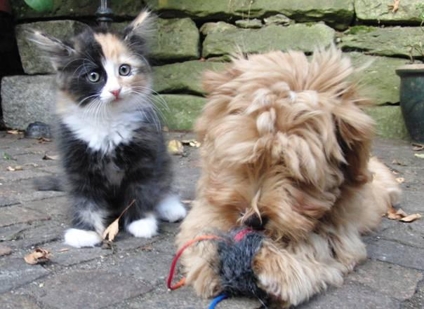 Havaneser Welpe und Katzenjunges