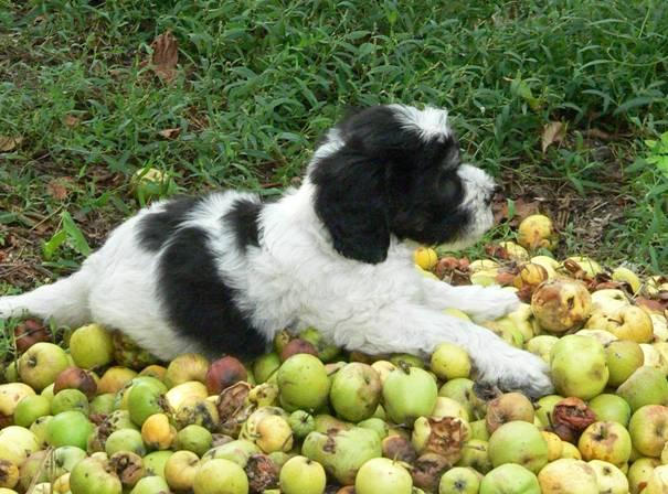 Welpe mit Apfel