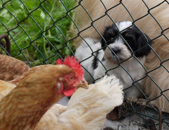 Havaneser mit Hühnern