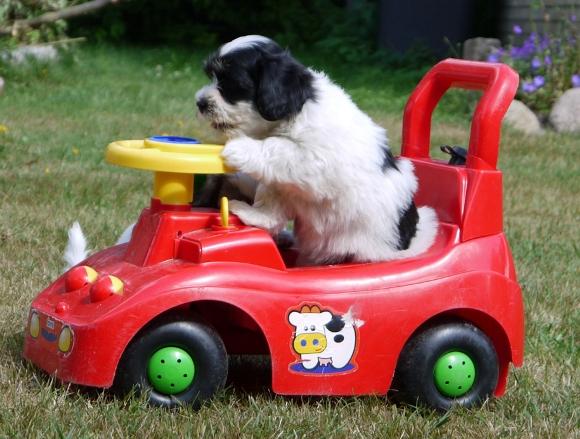 Havaneser Welpe fährt Auto