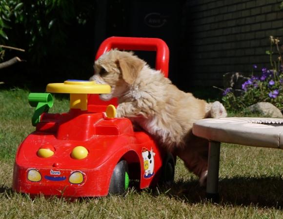 Havaneser Welpe klettert auf Auto