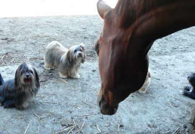 Havaneser mit Pferden
