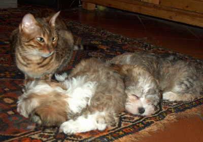 Havaneser mit Katzen
