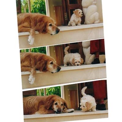 Havaneser mit alten Hund