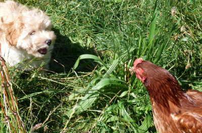 Welpe und Hühner