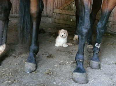 Welpe und Pferde