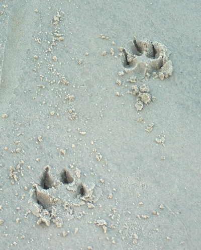 Pfotenabdruck im Strand